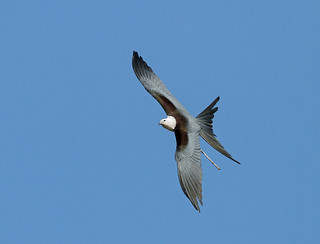 Swallow-tailed Kite With Stick