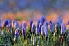springtime flowers (Neal J.Wilson) Tags: spring crocus flowers seasons lilla mauve colour color nature denmark scandinavia depthoffield springtime nikon easter