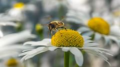 Nature (ozkantayfun) Tags: bee nature flower honey leaf flowers yeloow green macro dof moment catch