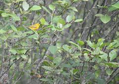Yellow Warbler (Dakota Maxwell) Tags: yellowwarbler warbler mason newhampshire bird birdphotography birdnerd birding wildlife wildlifephotography