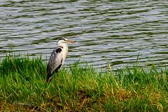 IZA-3197 (Sunil - Bhoj) Tags: mysuru karnataka india lake waterfront waterbody bird nikond700 nikon180mmf28