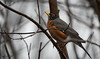 Merle d'Amérique // American Robin (Keztik) Tags: merledamérique americanrobin turdusmigratorius oiseau bird merle robin animal nature wildlife spring printemps moody gloomy rainy rain pluie pluvieux nikon d7500 quebec canada
