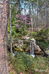 Redbud Waterfall (Jim Johnston (OKC)) Tags: garvanwoodlandgardens hotsprings arkansas waterfall redbuds trees pines