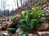 Endlich Frühling (shortscale) Tags: frühling wald laub blume schlüsselblume schwäbischealb
