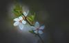 Cherry blossom (Dhina A) Tags: sony a7rii ilce7rm2 a7r2 kodak ektanar c 102mm f28 projection projector lens kodakektanar102mmf28 vintage bokeh smooth soft bubble cherry blossom spring flower plum
