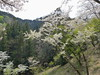 18o8171 (kimagurenote) Tags: 桜 sakura cherry blossom prunus cerasus flower tree 多摩森林科学園 tamaforestsciencegarden 東京都八王子市 hachiojitokyo