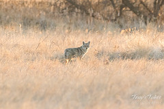 A Coyote on the prowl