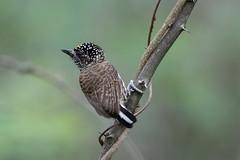 Ecuadorian Piculet (S.G.Davis) Tags: uncommon tumbesian endemic piculet ecuadorian
