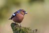 Chaffinch (Dougie Edmond) Tags: ringford scotland unitedkingdom gb wildlife nature spring sunshine hide photorgrphy canon