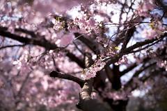Primavera - Spring (Immacolata Giordano) Tags: padova primavera spring bokeh alberi ciliegio
