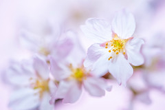 cherryblossom 2706 (junjiaoyama) Tags: japan flower plant cherryblossom pink white bokeh macro spring