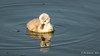 Mute Swan - Cygnet (Bob Gunderson) Tags: birds california cygnusolor lasgallinas marincounty muteswan northbay northerncalifornia swans