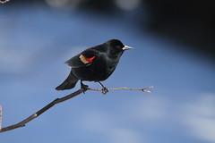 Red-winged Blackbird  / Carouge à épaulettes (ricketdi) Tags: carougeàépaulettes agelaiusphoeniceus redwingedblackbird birdsofmexico ngc coth5 npc sunrays5