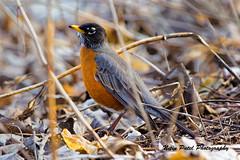 IMG_4087 (nitinpatel2) Tags: bird nature nitinpatel