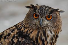 European Eagle Owl - Falconry Fair (Mandenno photography) Tags: animal animals owl owls european eagle ngc nederland netherlands nature fair falconry bird birds