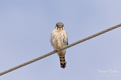 Male American Kestrel keeping watch