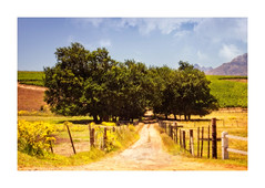 Country Road (Daniela 59) Tags: 7dayswithflickr saturdaythemelandscapesoutsidepictures fence fencefriday road trees landscape neethlingshofwineestate stellenbosch southafrica danielaruppel