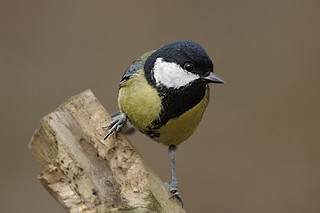 IMGP3660c Great Tit, Barnwell C.P., March 2018