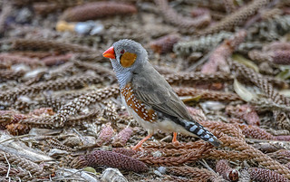 small bird series: ♂ zebra finch