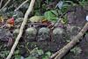 Trunyan Village Graveyard, Bali 9 (Petter Thorden) Tags: bali indonesia kintamani lake gunung batur trunyan