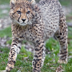 Young cheetah walking in the grass thumbnail