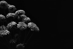 Back to Basics (flashfix) Tags: april112018 2018inphotos ottawa ontario canada nikond7100 28mm nikon flashfix flashfixphotography stilllife monochrome blackandwhite floral minimal minimalistic daisies