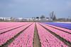 NSR SLR at Noordwijkerhout, April 15, 2018 (cklx) Tags: noordwijkerhout hyacinths hyacinten colorful pink blue spring holland 2018 slt sprinterlighttrain