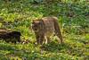 Luchse (oonaolivia) Tags: luchs lynx wildkatze wildcat wildtiere wildanimals switzerland wildnisparklangenberg