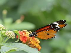 Gathering (MomoFotografi) Tags: butterfly macro flower beautiful zuiko nature papillons en liberté 60mm macrography papillonsenliberté papillon fleur olympus closeup jardinbotanique montréal montreal bug insect close bokeh