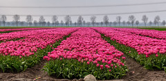 Finally, the tulips are coming! (Marco van Beek) Tags: tulips holland europe beautiful world nikon d5000 afs dx nikkor 18200mm f3556g ed vr ii landscape nature