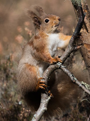 Golden Brown - Red Squirrel. (Sandy MacLennan) Tags: red squirrel redsquirrel
