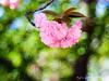 櫻花泡泡 II (紅襪熊(・ᴥ・)) Tags: olympus omd em1 m43 micro43 microfourthirds olympusem1 pentacon av 2880 pentaconav2880 80mm f28 pentaconav80mm28 80mmf28 bokeh sakura 櫻 櫻花 cherryblossoms pink flower flowers blossom blossoms castle cherry cherryblossom cherryblossomfestival cherrytree cherrytrees garden light macro nature park plant sky spring travel tree trees white さくら サクラ 春 桜 花 花見 賞櫻 日本 japan 粉 粉紅 造幣局 大阪造幣局 osaka