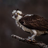 Bad Hair Day (jgaosb) Tags: sunken state park osprey