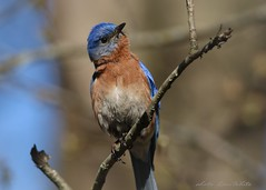 happiness (don.white55 That's wild...) Tags: easternbluebirdsialiasialis thatswildnaturephotography donwhite canoneos70d tamronsp150600mmf563divcusda011 tamron150600mm 150600mm animal bird bluebird perching nature wildlife harrisburgpennsylvania habitat ngc