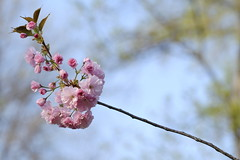 Sakura (Iulian Dumitru) Tags: nature pink tree blossom spring flower sakura japanesecherry