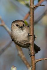 Clarke_180422_6613.jpg (www.raincoastphoto.com) Tags: birds psaltriparusminimus birdsofbritishcolumbia birdsofnorthamerica bushtits sparrows birdsofcanada britishcolumbia canada