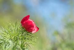 Keleti Bazsarózsa (Paeonia tenuifolia) (Torok_Bea) Tags: flowers colours beautiful virág nikon nikond5500 bokeh flower sigma sigmalens sigma105mm natur nature keletibazsarózsa paeoniatenuifolia bazsarózsa