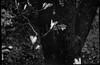 shrubbery blooms, apple tree trunk, dusk, yard, West Asheville, North Carolina, FED 4, Industar 26 50mm f-2.8, Arista.Edu 200, Ilford Ilfosol 3 developer, early April 2018 (steve aimone) Tags: blooms shrub shrubbery treetrunk appletree yard westasheville northcarolina fed4 industar2650mmf28 aristaedu200 ilfordilfosol3developer 35mm 35mmfilm film rangefinder soviet primelens