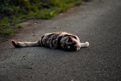 LR-DSCF9804 (studiofuntas) Tags: machineko yodogawa straycat higashiyodogawaku joggingroad road pet grass animal soil cat