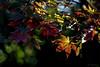 _DSC3098 copy (kaioyang) Tags: mtmacedon autumncolours maple fallleaves sony a7r3 sonyfe24105mmf4g