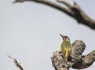 Pica-pau-verde | Iberian Green Woodpecker | Pito ibérico | Pic de Sharpe | Picchio di Sharpe | Picus viridis