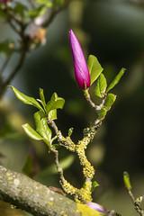 "Magnolia - Arboretum ""Het Leen""- Eeklo -Belgium (wietsej) Tags: magnolia arboretum hetleen eeklo belgium sony rx10 iv rx10m4 flower nature bokeh macro rx10iv"
