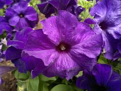 2018-05-29-14750 (vale 83) Tags: petunia nokia n8 friends coloursplosion colourartaward