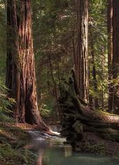 Rita Crane Photography: Redwood Forest Stream, Mendocino County (Rita Crane Photography) Tags: redwoods mendocinocounty trees stream forest california wwwritacranestudiocom ritacranephotography sunlight goldenhour redwoodroots water redwoodforest