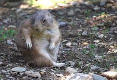 Prairie Dog Workout (MTSOfan) Tags: exercise prairiedog twist lvz
