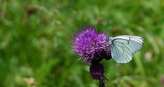 Groot geaderd witje - Aporia crataegi (henkmulder887) Tags: grootgeaderdwitje aporiacrataegi vlinder butterfly zeldzaam wit geaderd duitsland oostenrijk denemarken distel alpen bloem alpenwei alpenweide