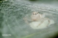 Jumping spider (Salticidae) - DSC_2547 (nickybay) Tags: mozambique gorongosa bugshot macro sofala chitengocamp jumping spider salticidae eggs