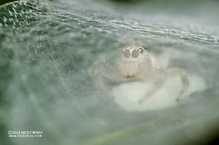Jumping spider (Salticidae) - DSC_2547