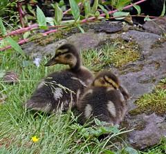 Watching (Bricheno) Tags: glasgow westend schottland szkocja scotland scozia escocia escòcia écosse scoția 蘇格蘭 स्कॉटलैंड σκωτία kelvingrove park kelvingrovepark ducks pond mallards ducklings