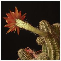 Cactus #4 2018; Chamaecereus sivestrii (hamsiksa) Tags: plants flora vegetation cactus cacti cactacea xerophytes succulents peanutcactus chamaecereussivestrii deserts desertsouthwest sonorandesert arizona tucson